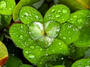 heart-leaves crop